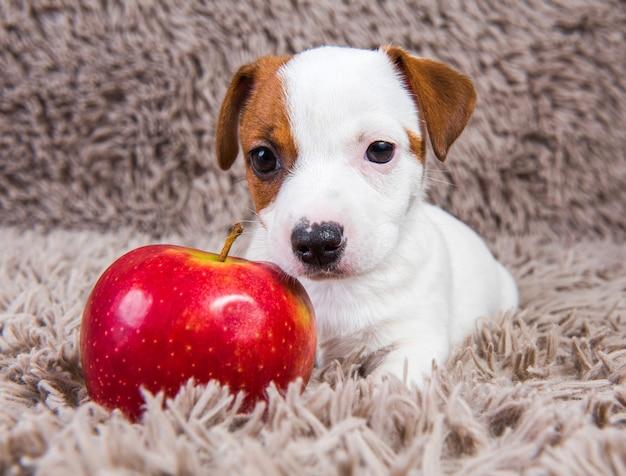 O cachorro engraçado jack russell terrier está deitado com uma maçã vermelha