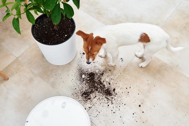 O cachorro espalhou terra de planta no chão. conceito de dano do animal de estimação. robô aspirador de pó limpo