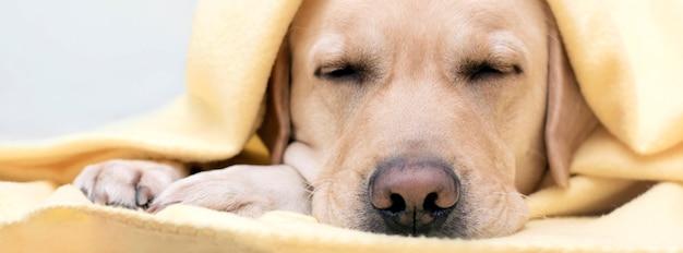 O cachorro está dormindo, se aquecendo em um cobertor amarelo aconchegante. o conceito de conforto na estação fria. banner.