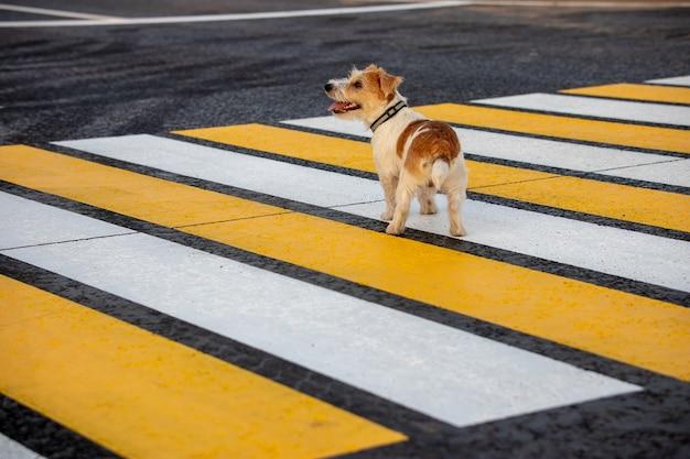 O cachorro jack russell terrier corre sozinho em uma faixa de pedestres na estrada