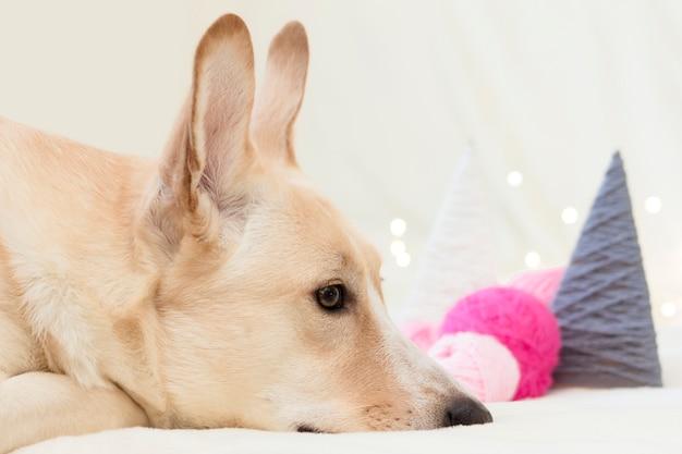 O cachorro mentindo e olhando em close