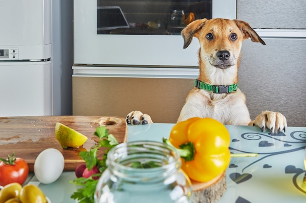 O cachorro olha com interesse para a mesa com a comida preparada para uma master class virtual online, preparada com comida saudável na cozinha de casa.