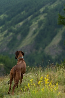 O cachorro olha para baixo da encosta da montanha. lindo cachorro vermelho rhodesian ridgeback fica em uma enorme colina