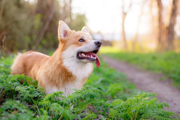 O cachorro pembroke welsh corgi olha para uma caminhada no parque