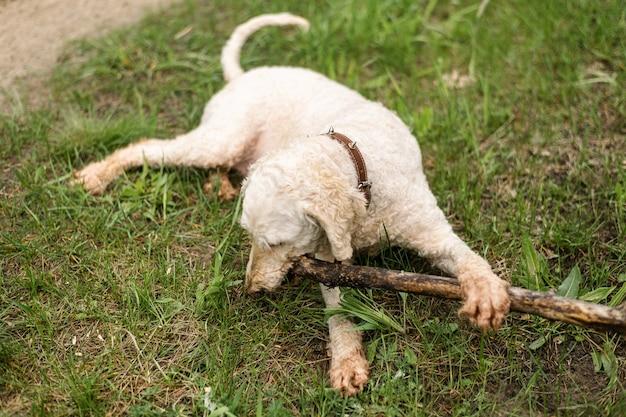 O cachorro roe um graveto na grama verde. grande poodle real.