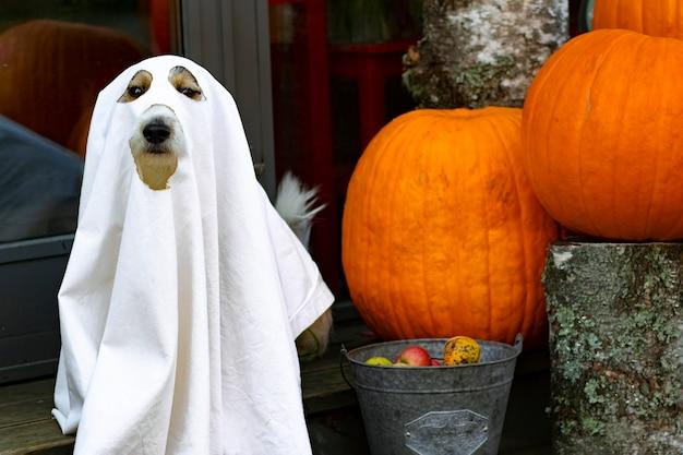 O cachorro se senta como um fantasma nos degraus com abóboras jack, assustador e assustador. fantasma de halloween