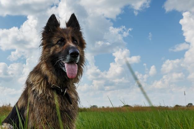 O cachorro sentado na grama verde contra um céu azul com nuvens.