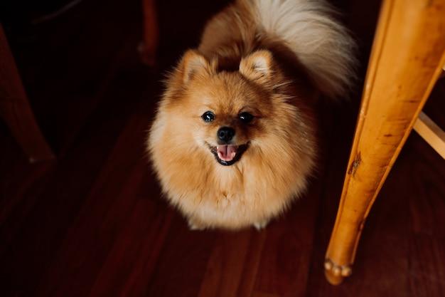 O cachorro spitz ruivo fica parado no chão de madeira, mostrando a língua de alegria