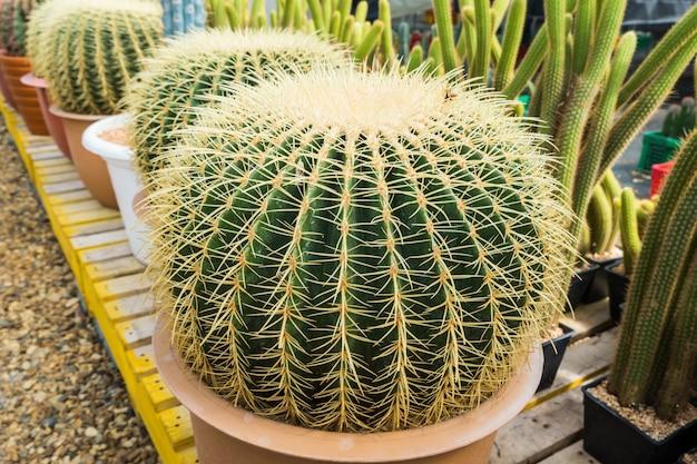 O cacto no potenciômetro para plantar arranjou nas fileiras seletas e no foco macio.