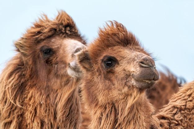 O camelo africano é um ungulado do gênero camelus