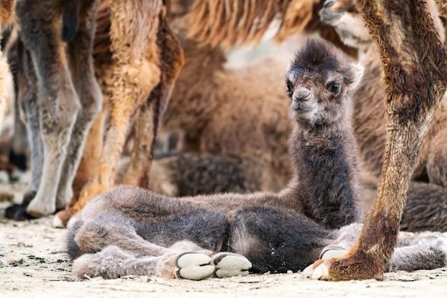 O camelo bebê é um ungulado do gênero camelus