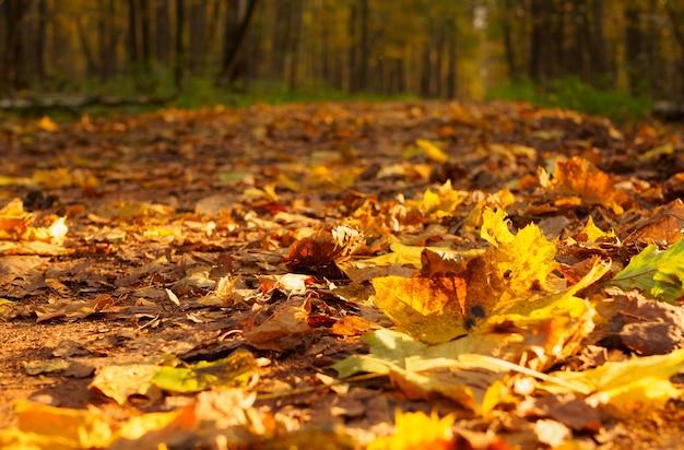 O caminho do parque está repleto de folhas de outono em um dia ensolarado de outono, em primeiro plano de foco, fundo desfocado. paisagem de outono. o caminho está coberto de folhas secas na floresta.