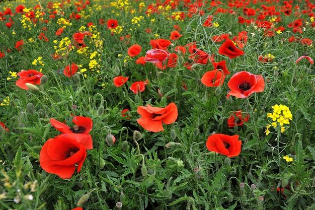 O campo com belas flores de papoula vermelhas brilhantes na primavera