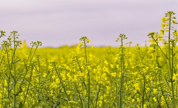 O campo da colza, flores de florescência do canola fecha-se acima.