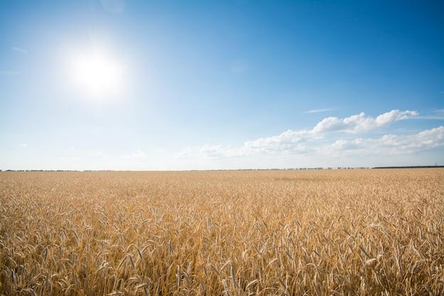 O campo de centeio maduro ao pôr do sol