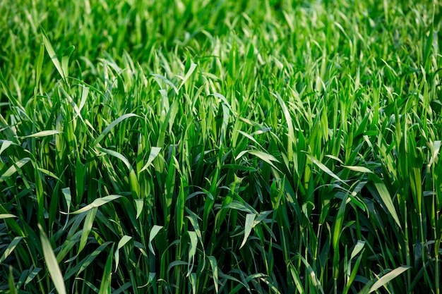 O campo de cereais