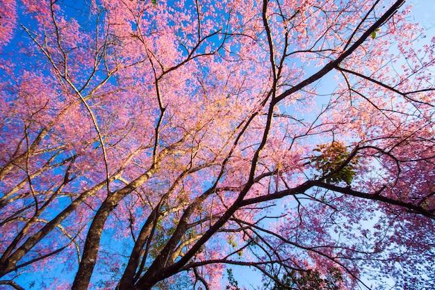 O campo de flores de cerejeira rosa selvagem do himalaia em flor thailands sakura ou prunus cerasoides
