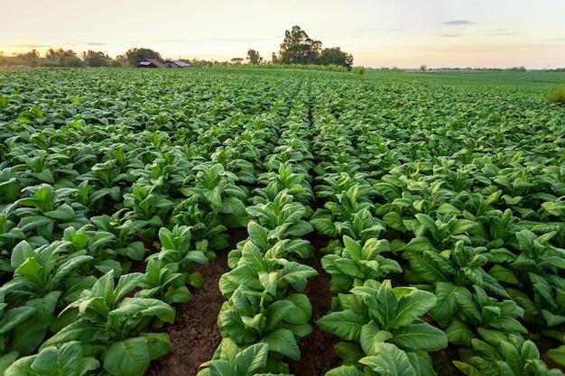 O campo de tabaco, folha grande do tabaco colhe no campo da plantação de tabaco.