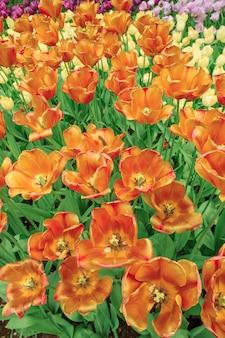 O campo de tulipa na holanda
