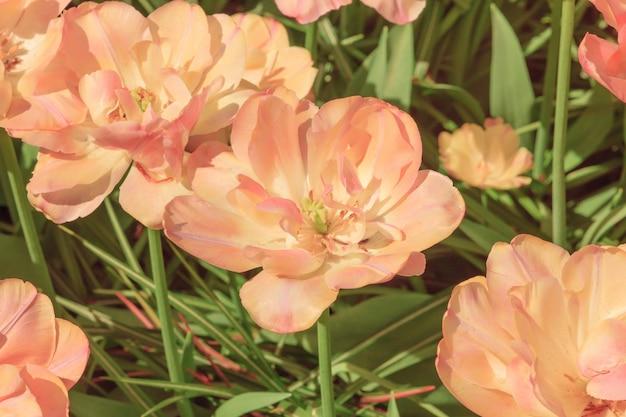 O campo de tulipas na holanda