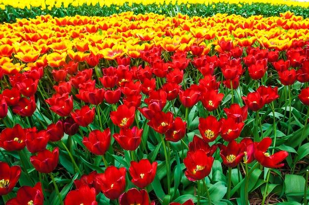 O campo de tulipas no jardim de flores de keukenhof