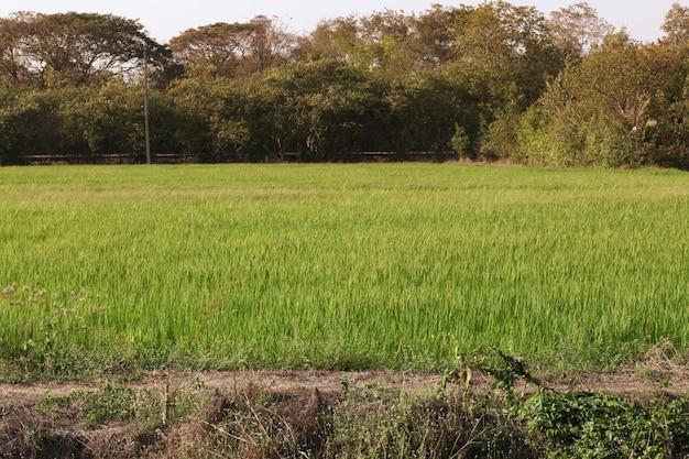 O campo do arroz da paisagem antes do por do sol tem o tom alaranjado claro em tailândia