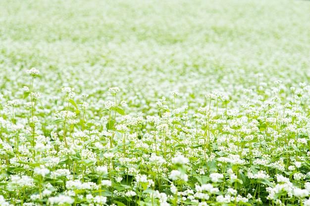 O campo está cheio de flores brancas.