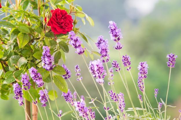O campo lavender.