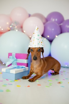 O cão bassê comemora seu aniversário.