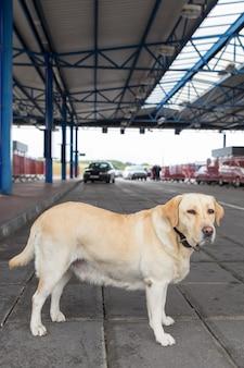 O cão da alfândega golden retriever procurando drogas e armas em postos de controle de automóveis na fronteira do estado