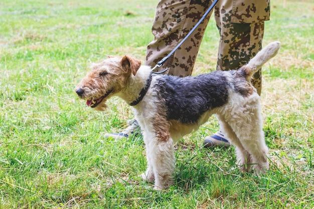 O cão da raça fox terrier na coleira ao lado de seu dono
