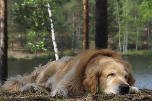 O cão da raça golden retriever deitado e dormindo em uma colina ao fundo de um lago na floresta e troncos de árvores
