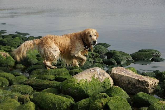 O cão da raça golden retriever molhado após o banho passa em pedras verdes na baía.