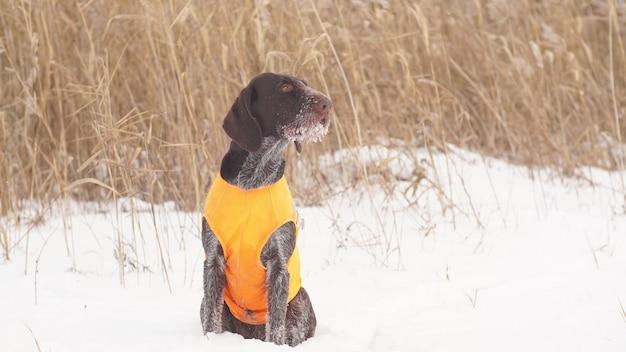 O cão de caça aguarda um sinal do proprietário para começar a caçar
