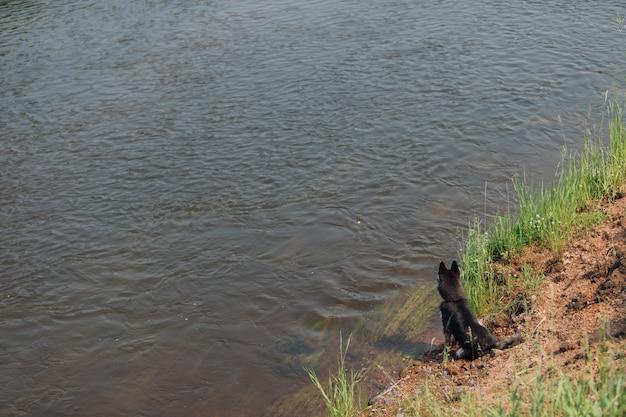 O cão de cachorrinho ronco senta-se na costa da lagoa e olha-se na distância. rio que flui