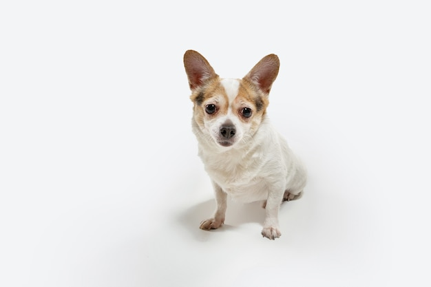 O cão de companhia chihuahua está posando. fofo brincalhão creme marrom cachorrinho ou animal de estimação brincando isolado na parede branca. conceito de movimento, ação, movimento, amor de animais de estimação. parece feliz, encantado, engraçado.