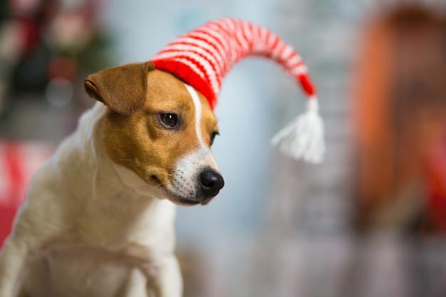 O cão de estimação jack russell terrier celebra o natal sob a árvore de natal com meias listradas vermelhas brancas