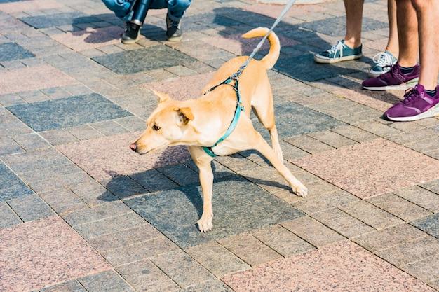 O cão de pêlo curto castanho claro numa trela verde anda na calçada com o proprietário.