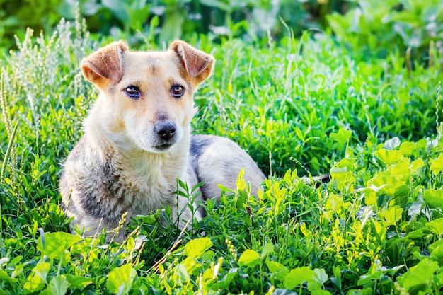 O cão deita na grama no jardim em um dia ensolarado de verão
