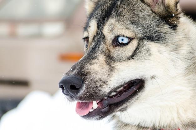 O cão do cão de puxar trenós siberian com olhos azuis olha à esquerda. cão husky tem casaco preto e marrom
