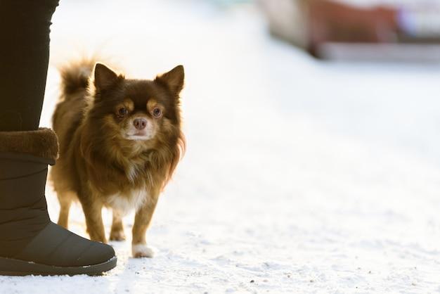 O cão do shih tzu tem o jogo da neve na manhã e na estação do inverno em helsínquia, finlandia.