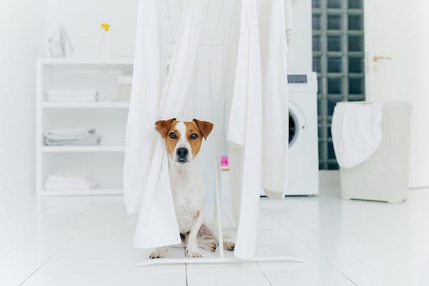 O cão do terrier de jack russell levanta entre toalhas brancas que penduram no secador de roupa na sala de lavagem.