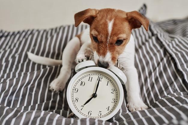 O cão do terrier de jack russell mordisca o despertador do vintage na cama. acorde e conceito de manhã