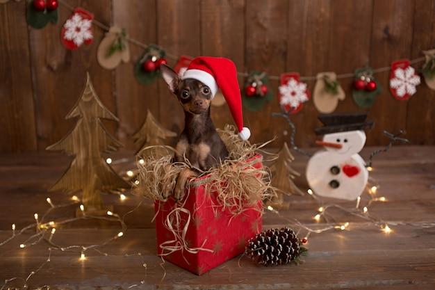 O cão do terrier do russo senta-se em uma caixa com presentes. feriado natal.