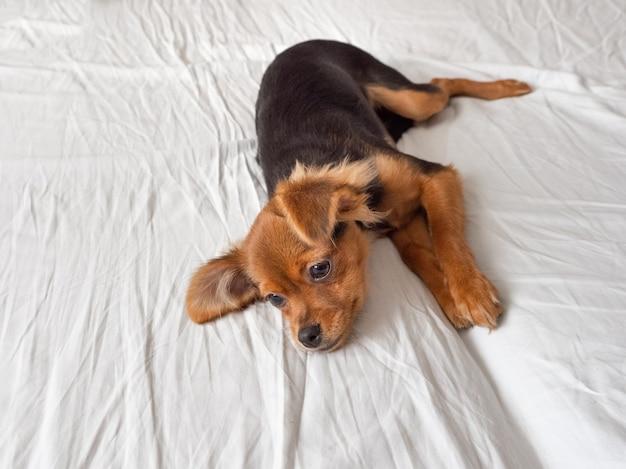 O cão doente está deitado sobre uma superfície branca. cão terrier de brinquedo russo, copie o espaço.