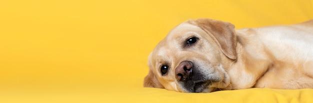 O cão encontra-se confortavelmente sobre um fundo amarelo. banner, copie o espaço.
