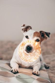 O cão engraçado jack russell com uma guirlanda de natal cintilante no nariz, pronto para o baile de máscaras. se preparando para o natal