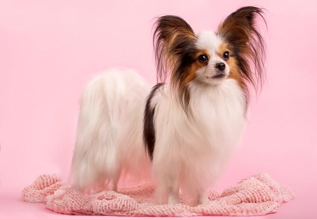 O cão está de pé sobre um fundo rosa
