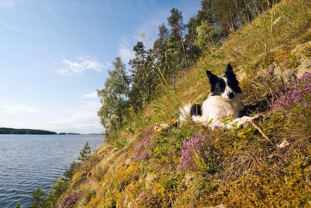 O cão está deitado em um campo de morango com flores na margem do lago