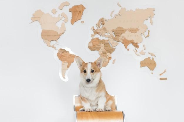 O cão galês corgi senta-se no fundo branco com um mapa de madeira. o pequeno animal de estimação corgi quer viajar e esperar por aventuras.